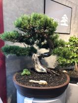 01.2 Pinus mugo