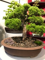 03.1 Juniper chinensis