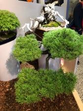 12.2. Pinus mugo