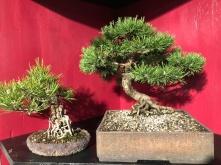 14 Pinus nigra und Pinus mugo