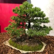 16 Pinus mugo